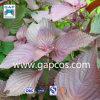 Порошок выдержки листьев Perilla 100% питательный