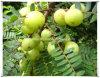 자연적인 Phyllanthus Emblica L/Emblica Officindlis Gaertn 추출 분말