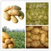 Gutes Quality Fresh Potato für Sales