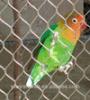 AISI316, acoplamiento material del cable del acero inoxidable 316L para el acoplamiento del parque zoológico, pajarera del pájaro