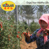 Pérdida de peso de Wolfberry de la baya de Goji de la especialidad del níspero