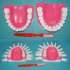 Medizinische Zahn-zahnmedizinisches Modell Vorführungmenschliche des Normal-28