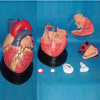 Modèle médical de démonstration d'anatomie de coeur humain (7 parties)
