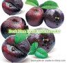 Pó do extrato da ameixa/Prunus escuros naturais puros Salicina Lindl