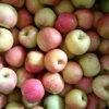 Huaguan Apple (FUJI-Apfel, Huaniu Apfel, Golden Apfel)