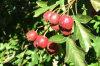 Flavonoides del total del extracto del espino, Hyperoside