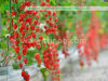 Carcaças hidropónicas comerciais para a colheita de tomate