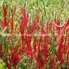 Peperoncini rossi rossi secchi del Yunnan Arbol con il gambo