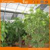 Высокая дом полиэтиленовой пленки представления цены зеленая засаживая овощи
