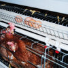 Matériel automatique de volaille de cage de poulet de couche