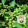 체중 감소 녹색 커피 콩 추출