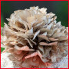Melhorar o extrato de Grifola Frondosa da imunidade, pó do extrato do cogumelo de Maitake