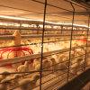 Оборудование конструкции дома птицефермы бройлера/цыплятины бройлера для бройлера