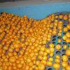 Buon mandarino fresco del bambino di Qulality