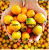 Kumquatの粉のKumquatの粉の/Fortunellaの粉