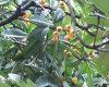 Het Zuur van Ursolic, het Uittreksel van het Blad Loquat en Rosemary Extract