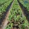 Großhandelslandwirtschafts-Pflanzenfrucht-nichtgewebtes Bedeckung-Polypropylen-nicht gesponnenes Gewebe