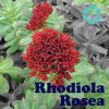 Rhodiola Rosea Auszug/Rosavin/Salidroside