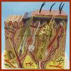 毛解剖モデルが付いている人間の拡大された皮モデル