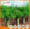 El protector/el plástico plásticos estriados del árbol protege el tubo