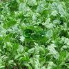 Горячее Sell IQF Spinach Leaf Cuts в высоком качестве