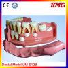 Education dentale Teeth Model per Wholesale
