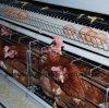 Gabbia automatica del pollo della strumentazione del pollame