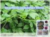 Hypotonisches natürliches Gynostemma Pentaphyllum Auszug-Puder