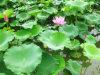Extracto Nuciferine CAS No. 475-83-2 de la hoja del loto