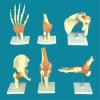 Le laboratoire fournit le modèle de enseignement médical squelettique d'anatomie de joints d'être humain (R020903)