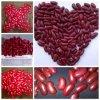 Obscuridade nova da colheita 2013 - tipo britânico vermelho dos feijões-roxos (DRKB/RDKB) (JD02)