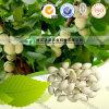 Ginkgo de médecine de fines herbes de qualité de toux de traitement