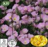 Evening pur Primrose Oil Soft Gel Capsules pour des soins de la peau
