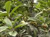 자연적인 박층 Eriobotryae/Loquat 잎 추출