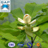 Extrato natural da planta de Magnoliae Officinalis do córtice