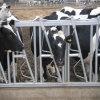 Blocage alimentant de collet de vache à matériel de collier de force de vache