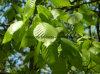 제조자 공급 박달나무 잎 추출 분말