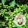 Estratto verde del chicco di caffè
