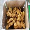 Gengibre fresco profissional/fornecedor secado ar do gengibre de China
