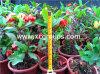 Euphorbe Neriifolia