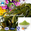 Fucoxanthin Kelp Powder mit Free Sample