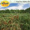 Мушмула ягоды Goji мушмулы высушенная Ningxia