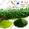 공장 Supply Conventional와 USDA Organic Wheat Grass Powder