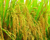 2, 4-D 72%SL - Herbicide