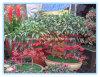 Порошок выдержки травы Ardisia изготовления естественный