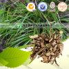 自然な漢方薬の原料のAcorus Tatarinowii Schott