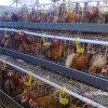 Jaulas de la capa del pollo de la venta de la granja avícola barata de la alta calidad las mejores en Tanzania