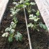 Greenhose를 위한 높은 Quality Drip Irrigation Pipe
