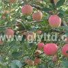 Nueva cosecha FUJI rojo chino Apple