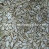Semente de abóbora de Yunnan com Shell